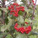 Sorbus Arranensis 1