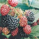blackberries gervuoges
